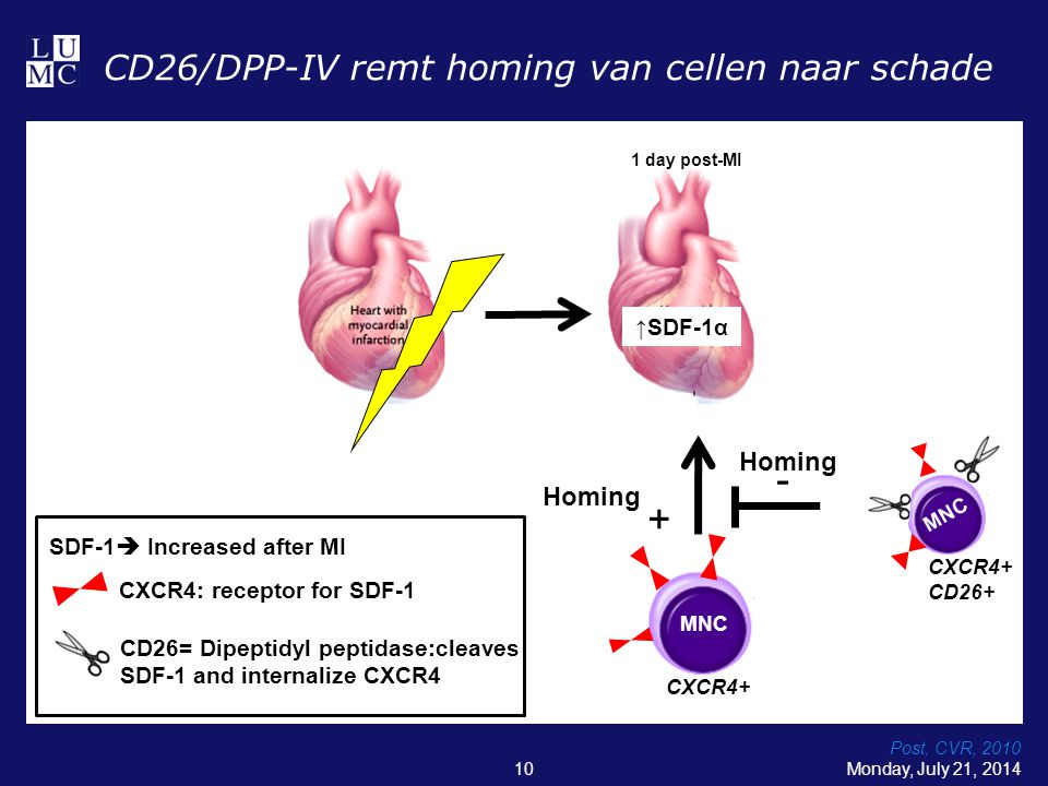 Monday, July 21, 201410 CD26/DPP-IV remt homing van cellen naar schade Post, CVR, 2010 ↑SDF-1α 1 day post-MI CXCR4: receptor for SDF-1 CD26= Dipeptidy