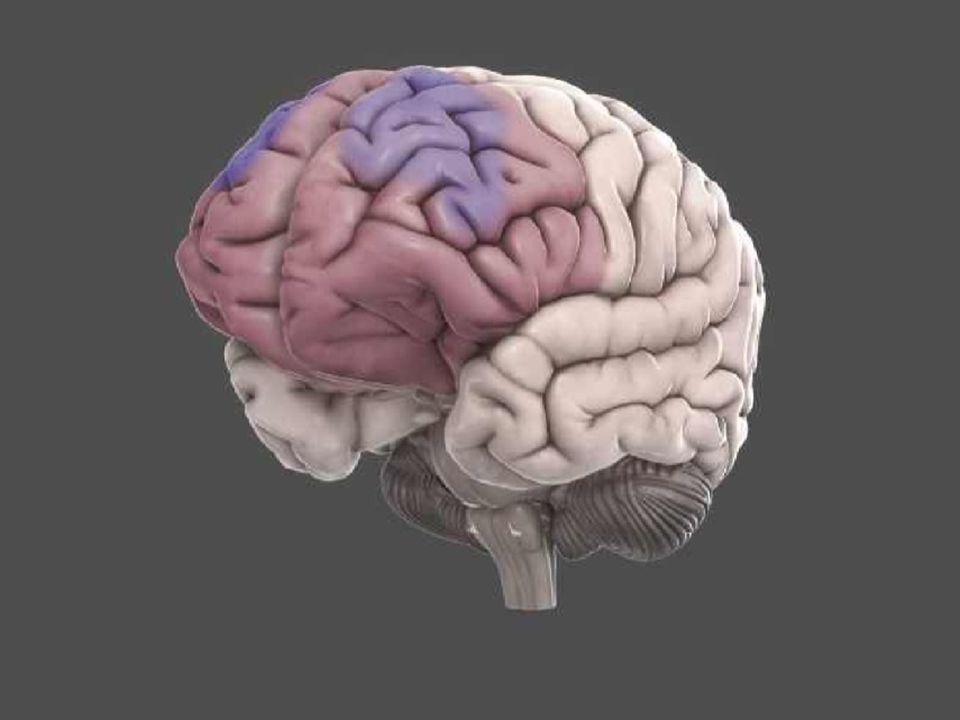 Puberbrein, de prefrontale cortex