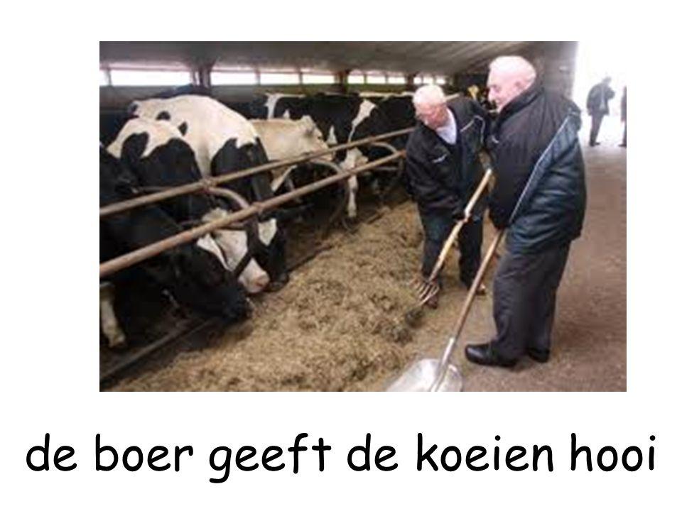 de boer geeft de koeien hooi