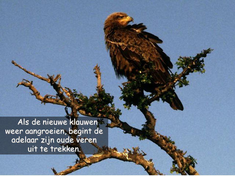 Nadat hij die losgetrokken heeft, wacht de adelaar totdat er een nieuwe bek gegroeid is, waarna hij zijn klauwen lostrekt.