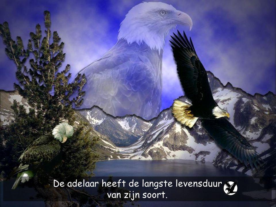 De adelaar heeft de langste levensduur van zijn soort.