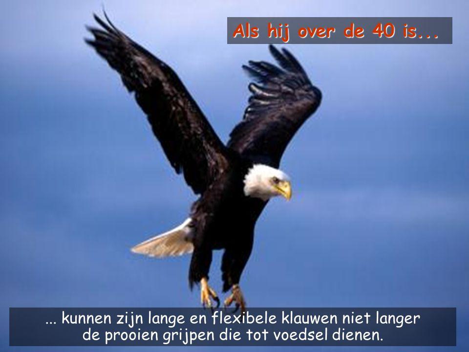 Maar om die leeftijd te bereiken moet de adelaar een moeilijke beslissing nemen. Hij kan tot 70 jaar oud worden.