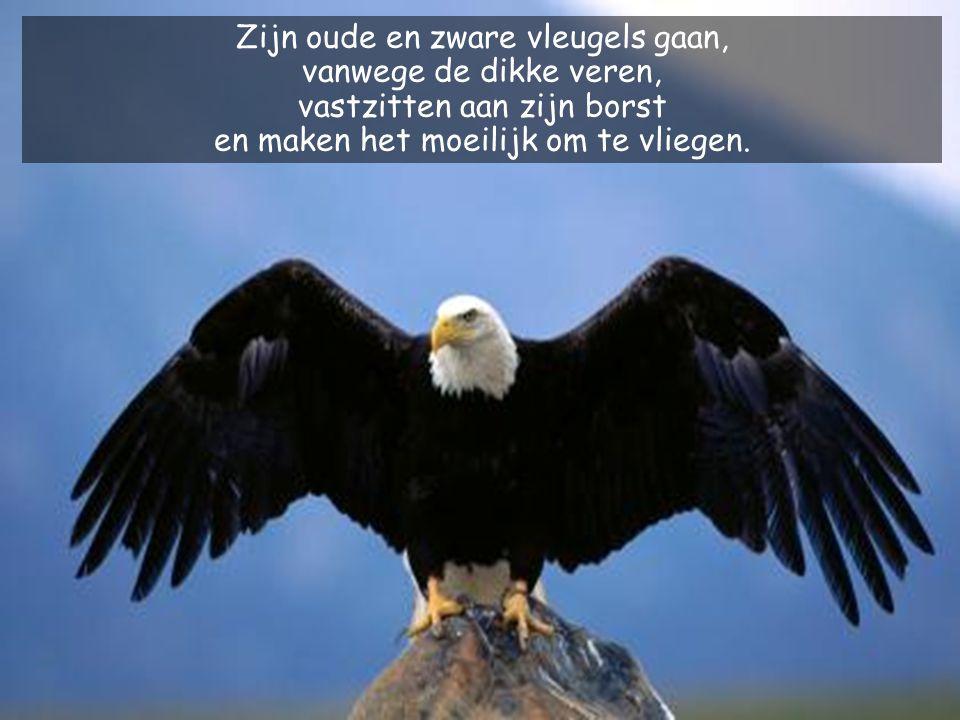 Zijn oude en zware vleugels gaan, vanwege de dikke veren, vastzitten aan zijn borst en maken het moeilijk om te vliegen.