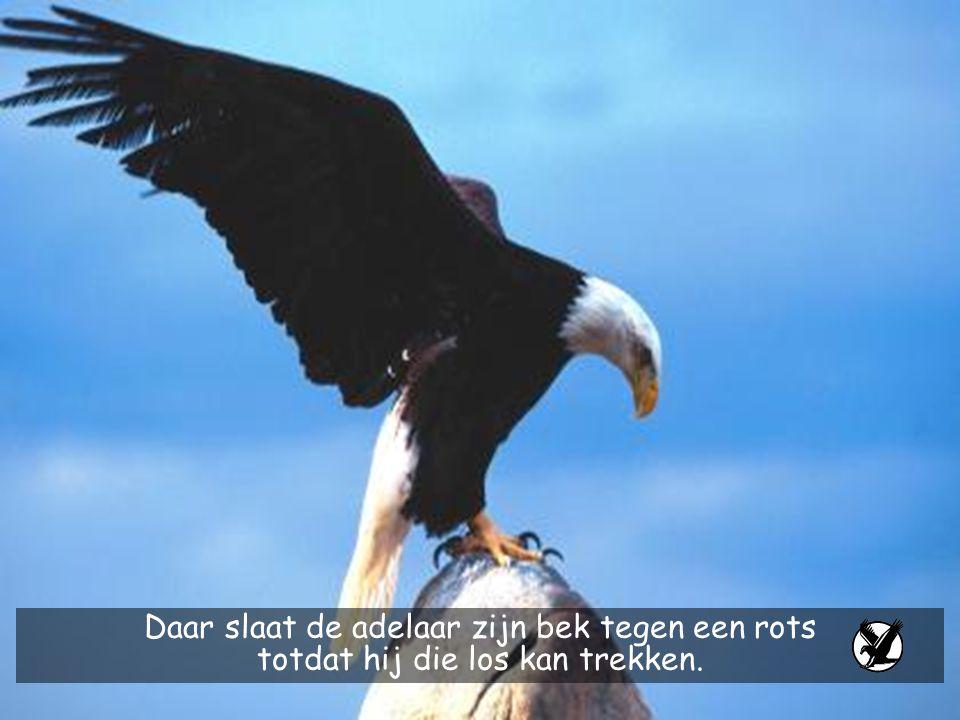 Daar slaat de adelaar zijn bek tegen een rots totdat hij die los kan trekken.
