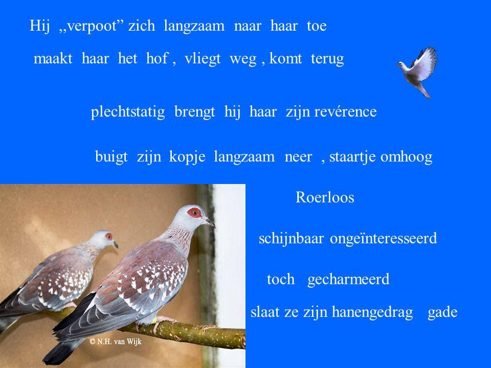 door een in elkaar gevlochten netwerk van al uitbottende boomtakken zie ik vogelgefladder Een doffer en een duif !!