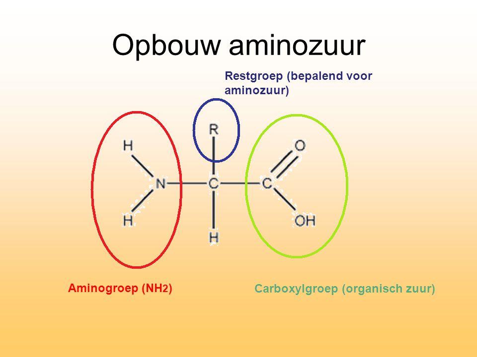 Opbouw aminozuur Restgroep (bepalend voor aminozuur) Carboxylgroep (organisch zuur) Aminogroep (NH 2 )