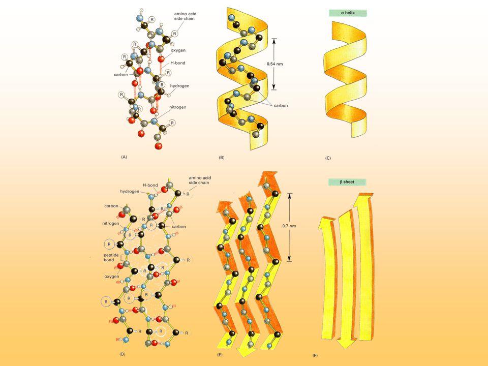 Eiwitstructuur De tertiaire structuur bestaat uit verdere vouwing van de polipeptide in een ruimtelijke vorm.