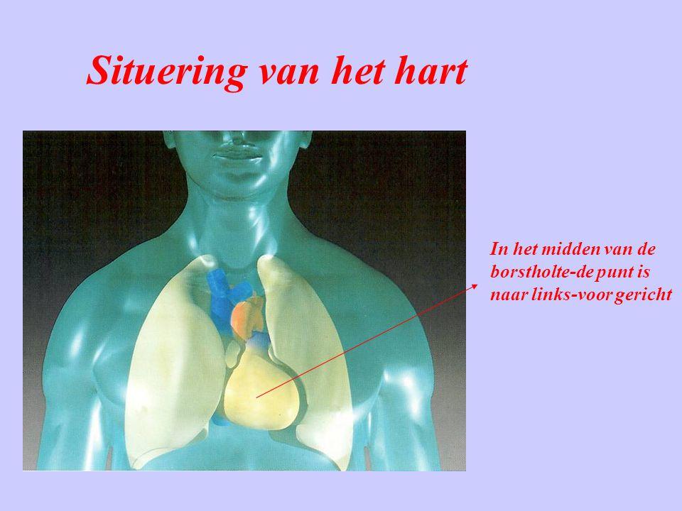 Situering van het hart In het midden van de borstholte-de punt is naar links-voor gericht
