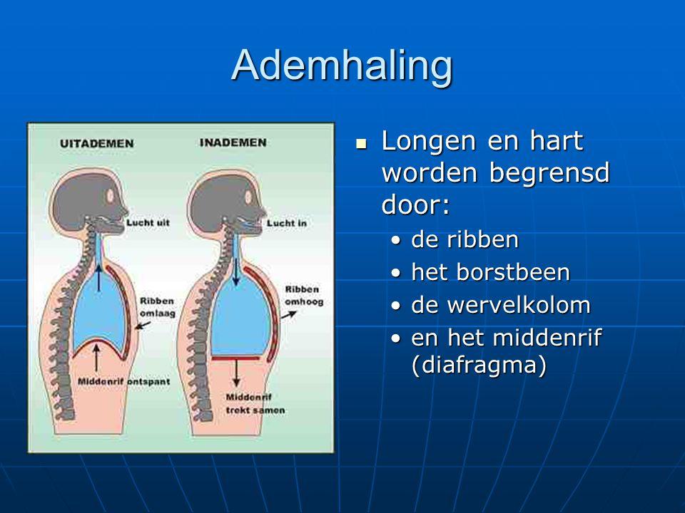 Ademhaling Longen en hart worden begrensd door: Longen en hart worden begrensd door: de ribben het borstbeen de wervelkolom en het middenrif (diafragm