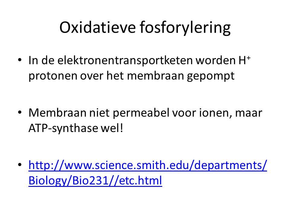 Oxidatieve fosforylering In de elektronentransportketen worden H + protonen over het membraan gepompt Membraan niet permeabel voor ionen, maar ATP-syn