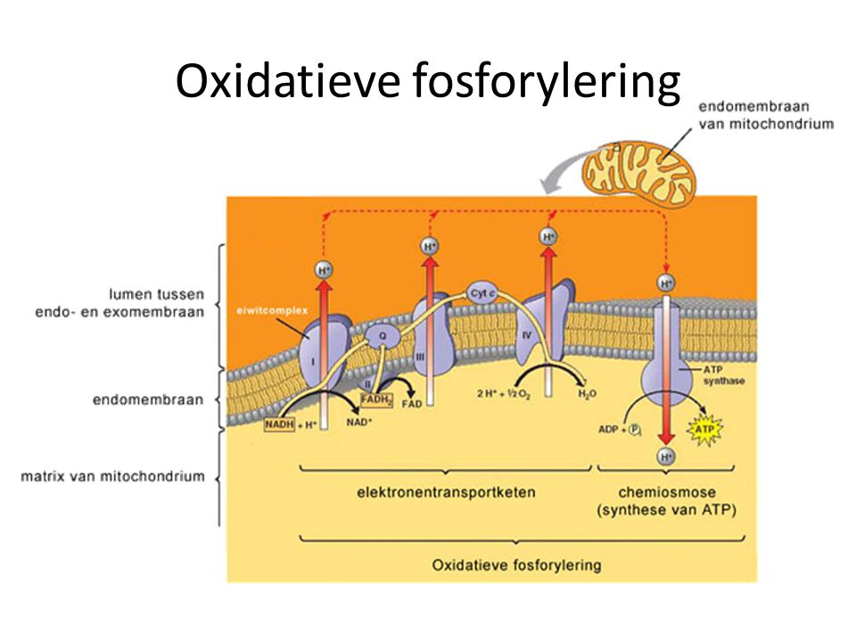 ATP-Synthase