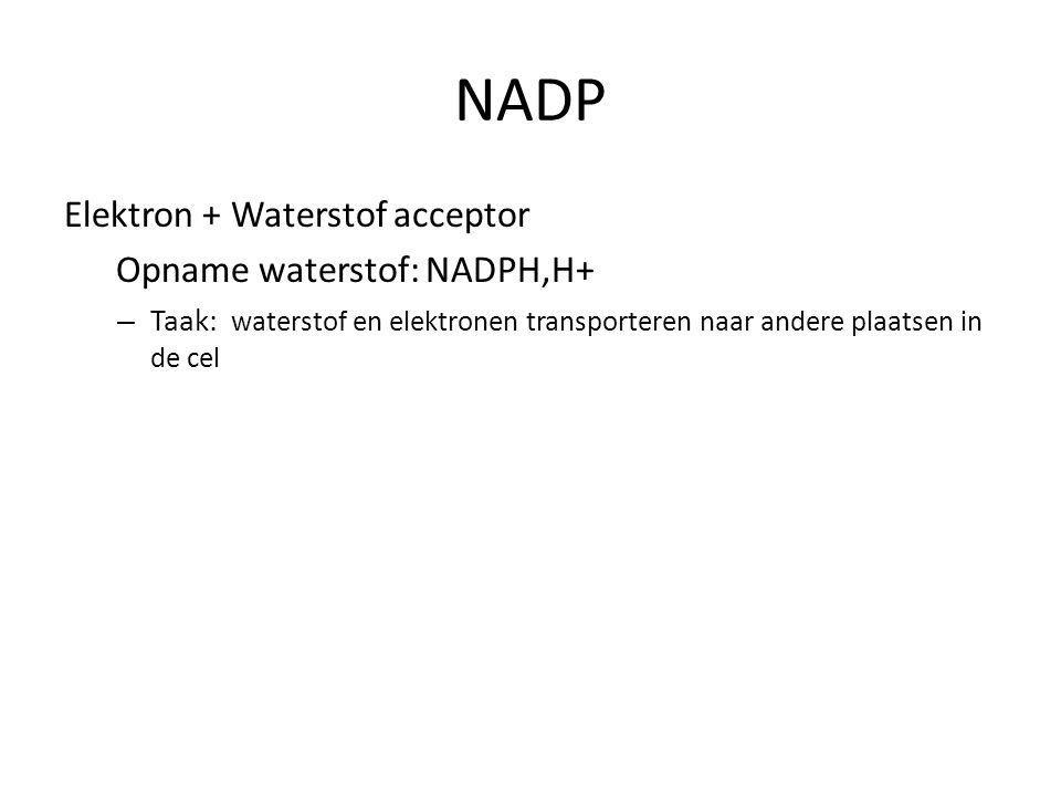 NADP Elektron + Waterstof acceptor Opname waterstof: NADPH,H+ – Taak: waterstof en elektronen transporteren naar andere plaatsen in de cel