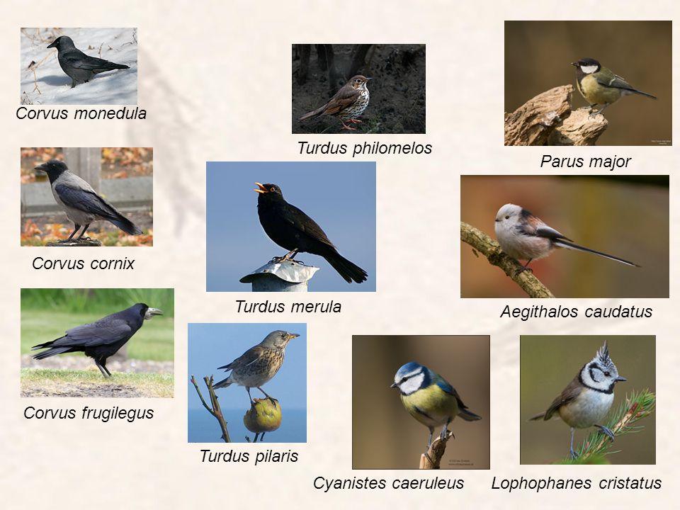 Cyanistes caeruleusLophophanes cristatus Aegithalos caudatus Parus major Corvus monedula Corvus frugilegus Corvus cornix Turdus philomelos Turdus meru