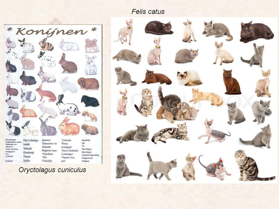 Felis catus Oryctolagus cuniculus