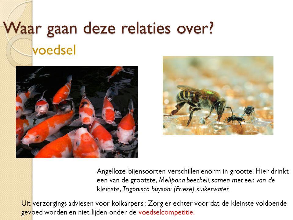 Waar gaan deze relaties over? Angelloze-bijensoorten verschillen enorm in grootte. Hier drinkt een van de grootste, Melipona beecheii, samen met een v