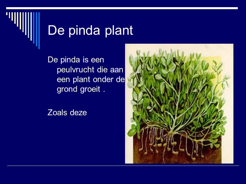 De pinda plant De pinda is een peulvrucht die aan een plant onder de grond groeit. Zoals deze