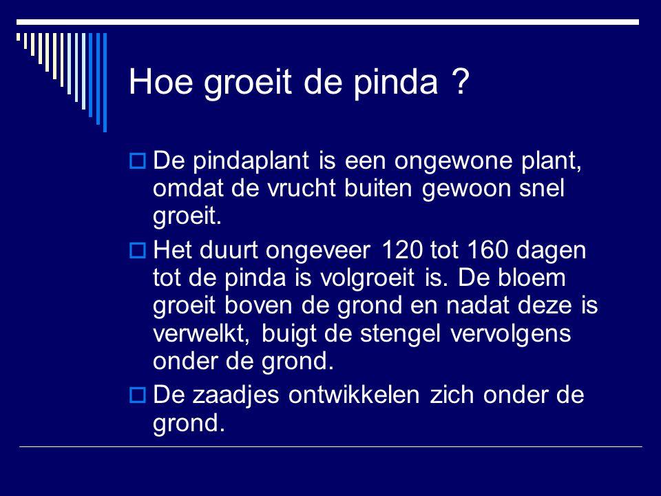 Hoe groeit de pinda ?  De pindaplant is een ongewone plant, omdat de vrucht buiten gewoon snel groeit.  Het duurt ongeveer 120 tot 160 dagen tot de