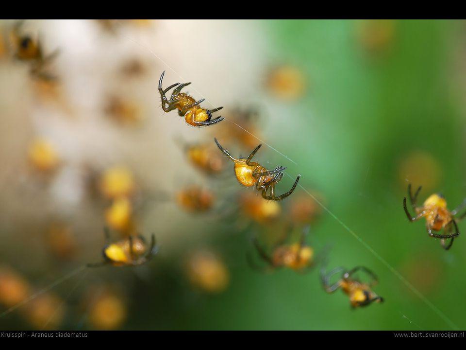 Kruisspin - Araneus diadematuswww.bertusvanrooijen.nl