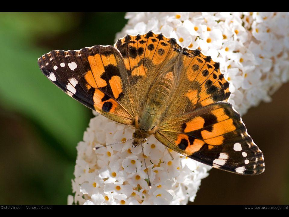Distelvlinder – Vanessa Carduiwww.bertusvanrooijen.nl