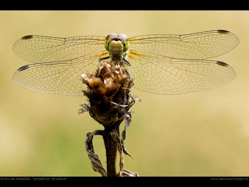 Bruinrode heidelibel - Sympetrum Striolatumwww.bertusvanrooijen.nl