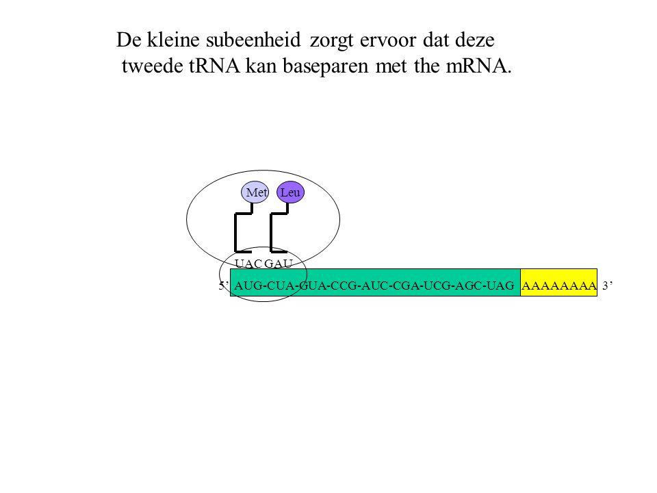 AAAAAAAA 3' Met UACGAU Leu De kleine subeenheid zorgt ervoor dat deze tweede tRNA kan baseparen met the mRNA. 5' AUG-CUA-GUA-CCG-AUC-CGA-UCG-AGC-UAG