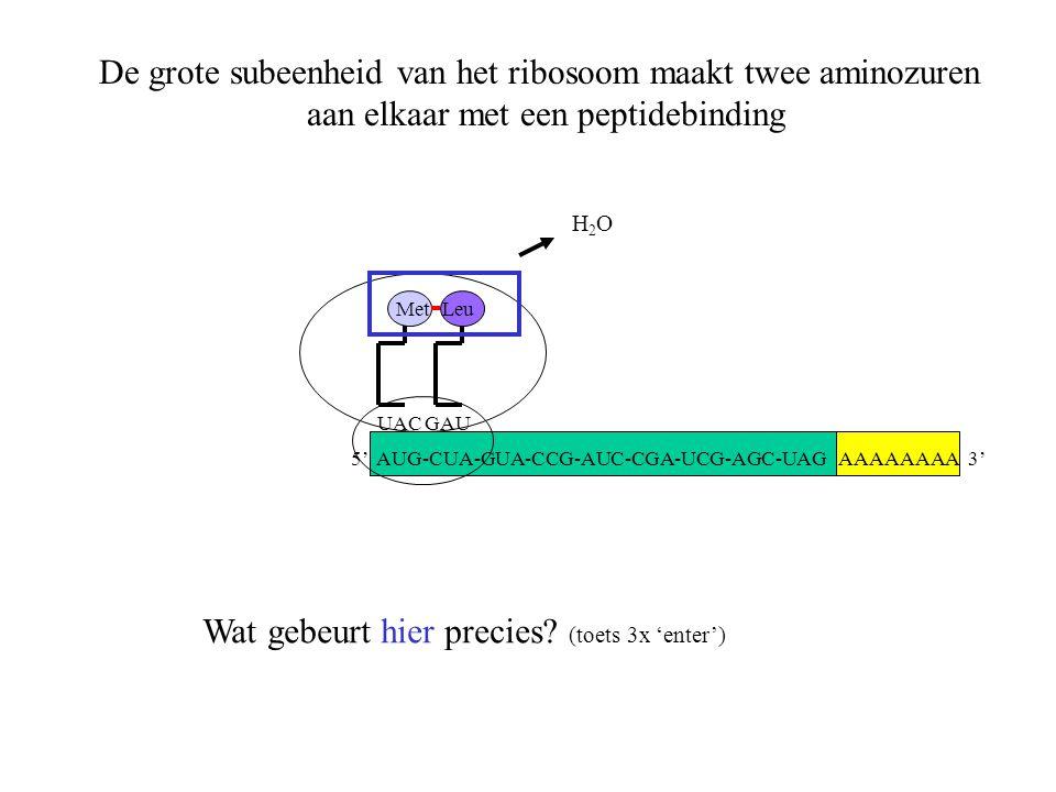 De grote subeenheid van het ribosoom maakt twee aminozuren aan elkaar met een peptidebinding AAAAAAAA 3' Met UACGAU Leu H2OH2O Wat gebeurt hier precie