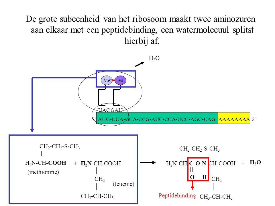 AAAAAAAA 3' Met UACGAU Leu De grote subeenheid van het ribosoom maakt twee aminozuren aan elkaar met een peptidebinding, een watermolecuul splitst hie