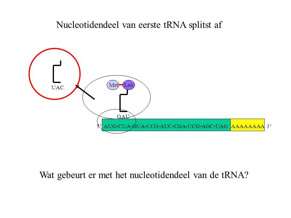 AAAAAAAA 3' Met UAC GAU Leu Nucleotidendeel van eerste tRNA splitst af Wat gebeurt er met het nucleotidendeel van de tRNA? 5' AUG-CUA-GUA-CCG-AUC-CGA-