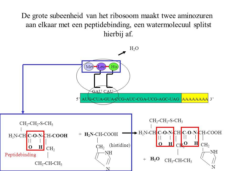 AAAAAAAA 3' Met GAU Leu CAU His De grote subeenheid van het ribosoom maakt twee aminozuren aan elkaar met een peptidebinding, een watermolecuul splits