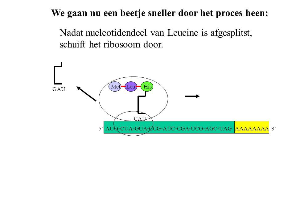 AAAAAAAA 3' MetLeu CAU His GAU Nadat nucleotidendeel van Leucine is afgesplitst, schuift het ribosoom door. We gaan nu een beetje sneller door het pro