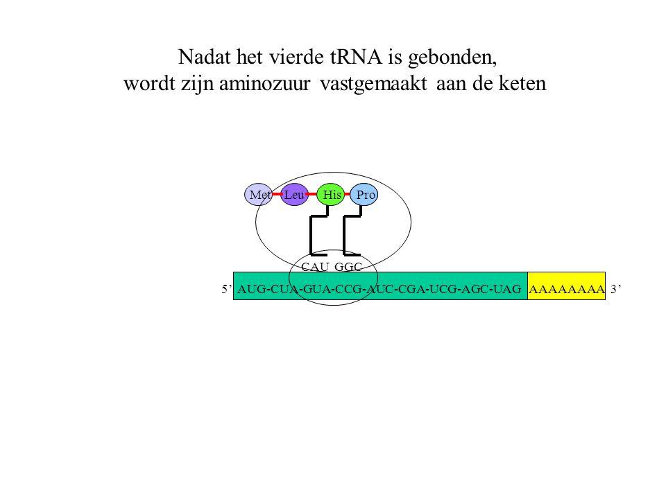 AAAAAAAA 3' MetLeu CAU His GGC Pro Nadat het vierde tRNA is gebonden, wordt zijn aminozuur vastgemaakt aan de keten 5' AUG-CUA-GUA-CCG-AUC-CGA-UCG-AGC