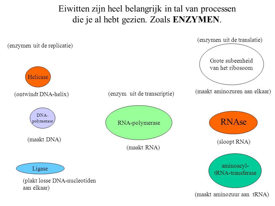 Helicase DNA- polymerase Ligase RNA-polymerase Grote subeenheid van het ribosoom (enzymen uit de replicatie) aminoacyl- tRNA-transferase RNAse (ontwin