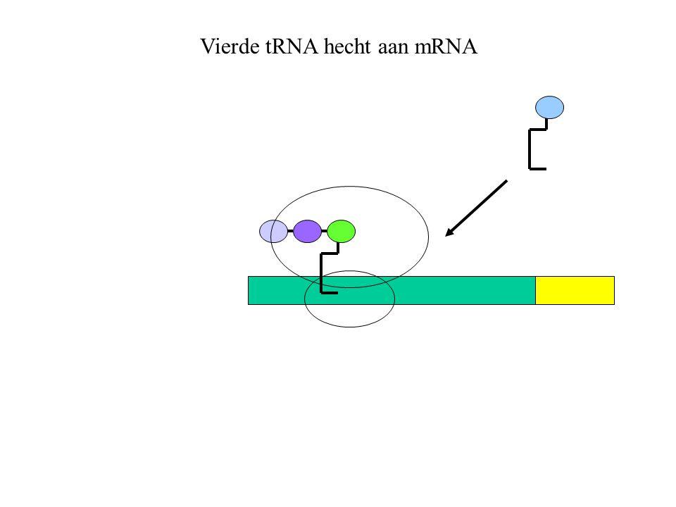 Vierde tRNA hecht aan mRNA