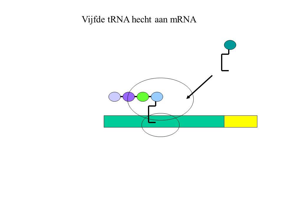 Vijfde tRNA hecht aan mRNA