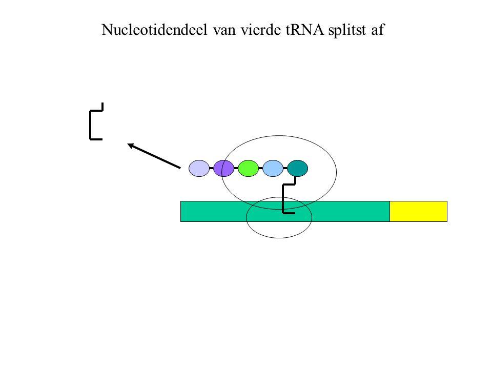 Nucleotidendeel van vierde tRNA splitst af