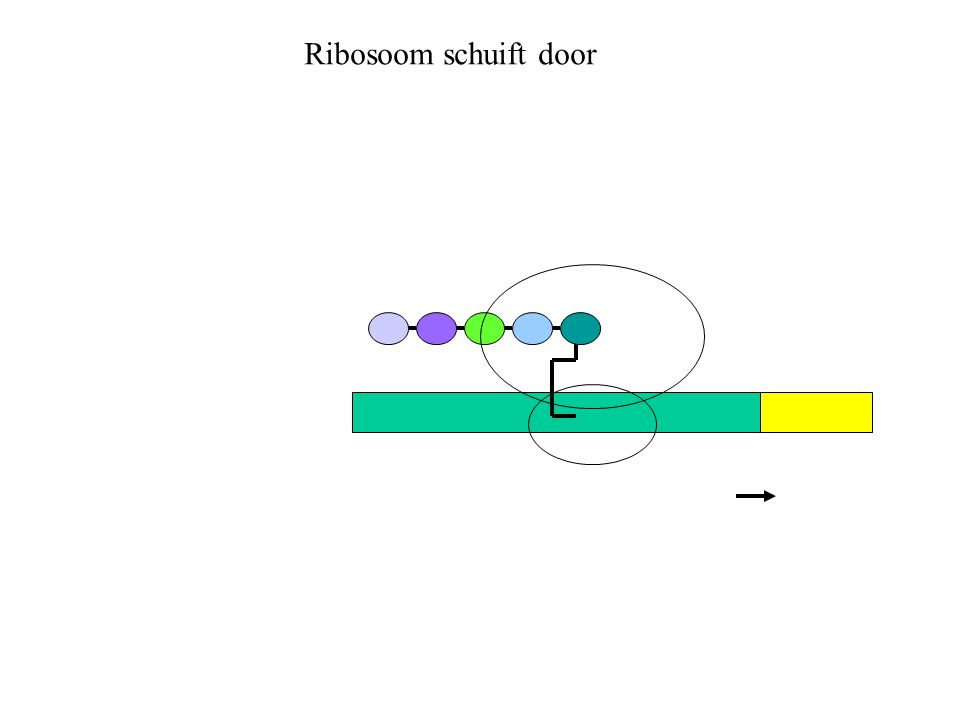 Ribosoom schuift door