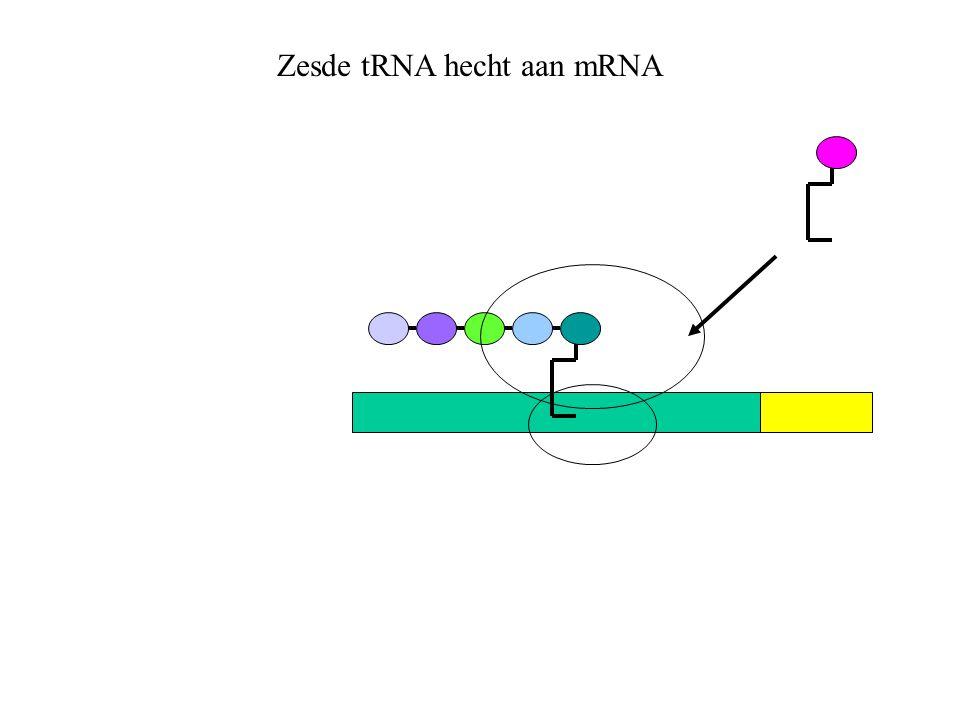 Zesde tRNA hecht aan mRNA