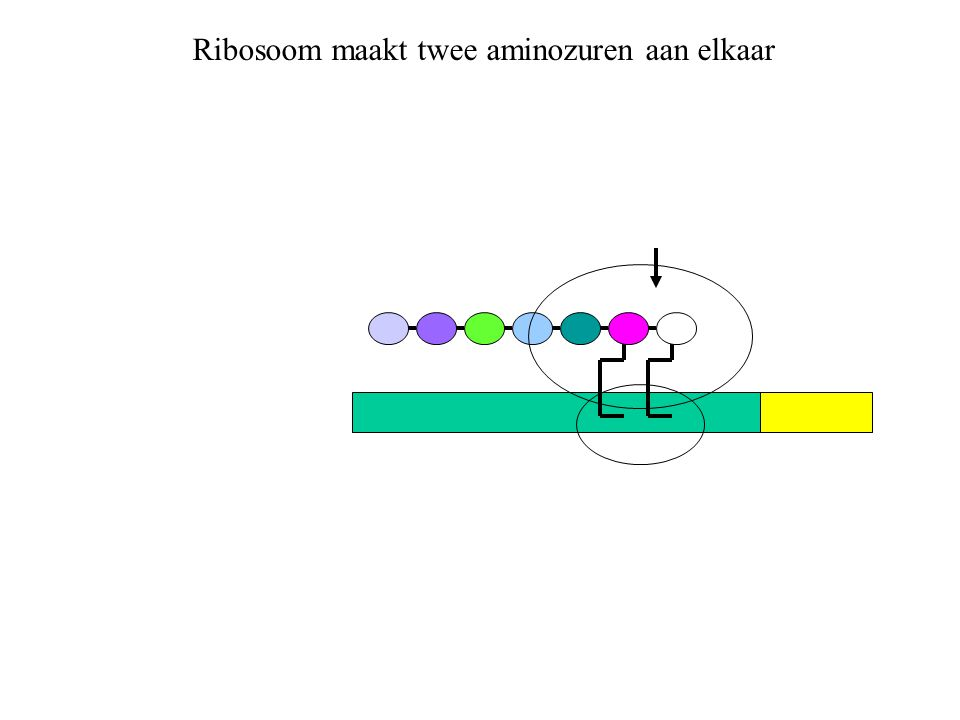 Ribosoom maakt twee aminozuren aan elkaar