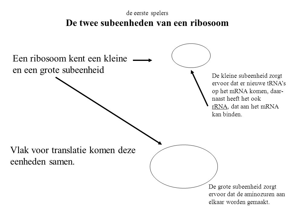 de eerste spelers De twee subeenheden van een ribosoom Een ribosoom kent een kleine en een grote subeenheid Vlak voor translatie komen deze eenheden s