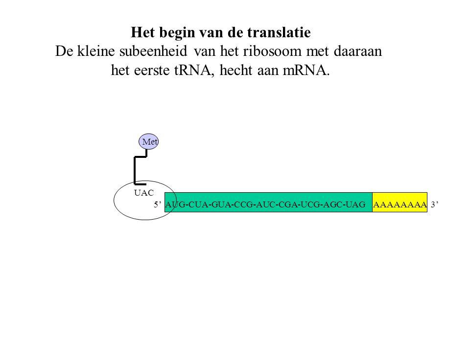 AAAAAAAA 3' Met UAC Het begin van de translatie De kleine subeenheid van het ribosoom met daaraan het eerste tRNA, hecht aan mRNA. 5' AUG-CUA-GUA-CCG-