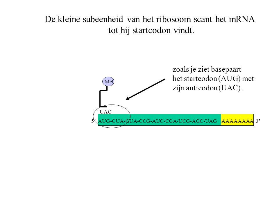 AAAAAAAA 3' Met UAC De kleine subeenheid van het ribosoom scant het mRNA tot hij startcodon vindt. zoals je ziet basepaart het startcodon (AUG) met zi