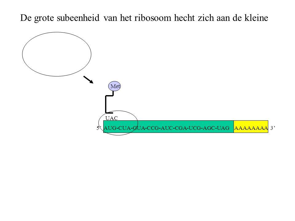 AAAAAAAA 3' Met UAC De grote subeenheid van het ribosoom hecht zich aan de kleine 5' AUG-CUA-GUA-CCG-AUC-CGA-UCG-AGC-UAG
