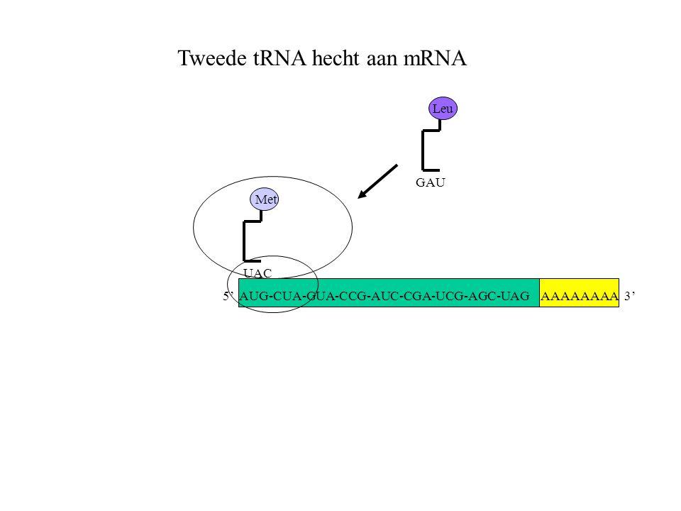 AAAAAAAA 3' Met UAC Tweede tRNA hecht aan mRNA GAU Leu 5' AUG-CUA-GUA-CCG-AUC-CGA-UCG-AGC-UAG