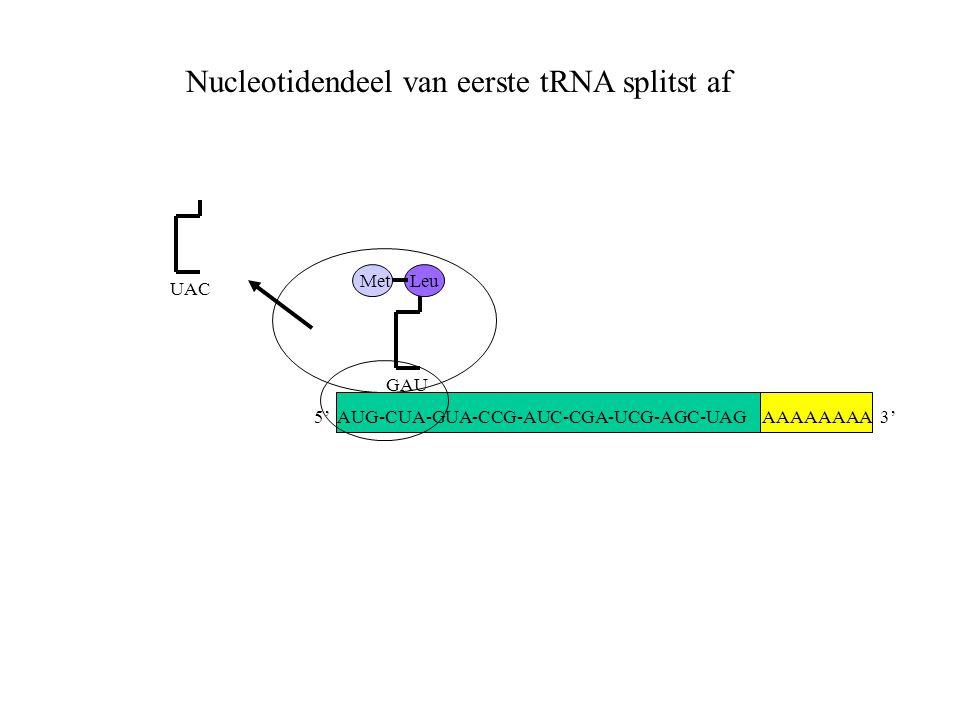 AAAAAAAA 3' Met UAC GAU Leu Nucleotidendeel van eerste tRNA splitst af 5' AUG-CUA-GUA-CCG-AUC-CGA-UCG-AGC-UAG