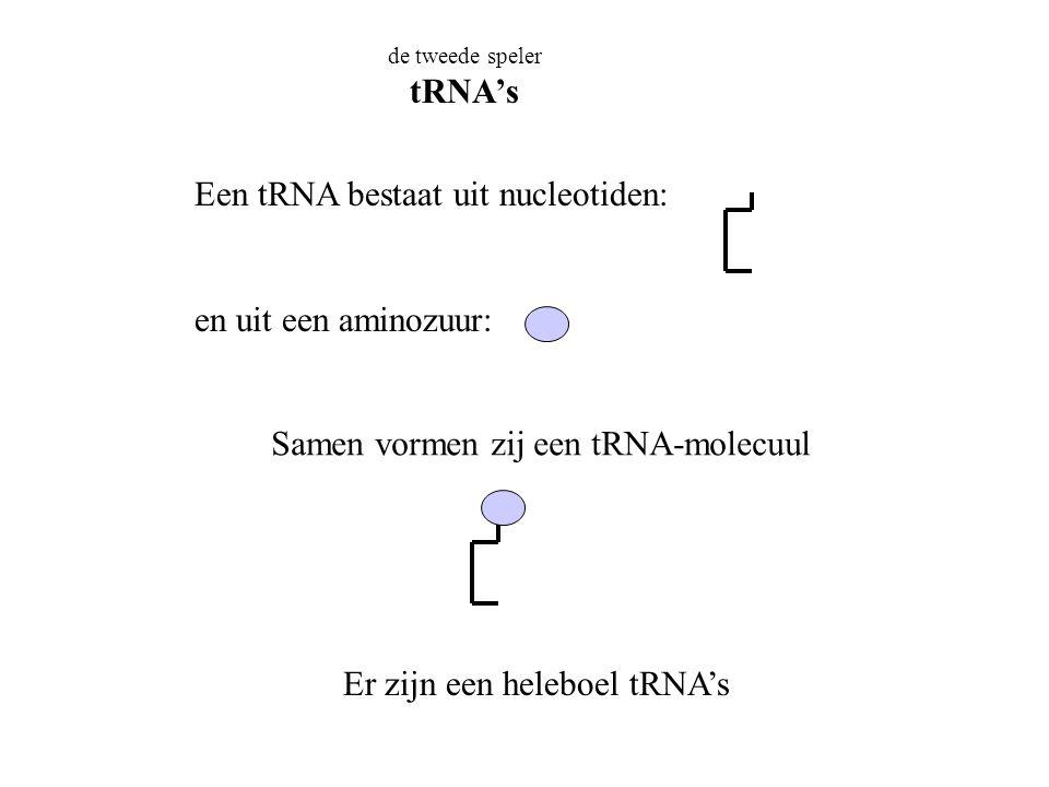 de tweede speler tRNA's Een tRNA bestaat uit nucleotiden: en uit een aminozuur: Samen vormen zij een tRNA-molecuul Er zijn een heleboel tRNA's