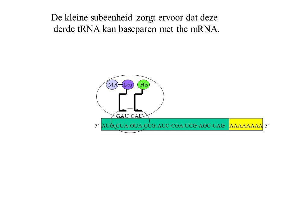AAAAAAAA 3' Met GAU Leu CAU His De kleine subeenheid zorgt ervoor dat deze derde tRNA kan baseparen met the mRNA. 5' AUG-CUA-GUA-CCG-AUC-CGA-UCG-AGC-U