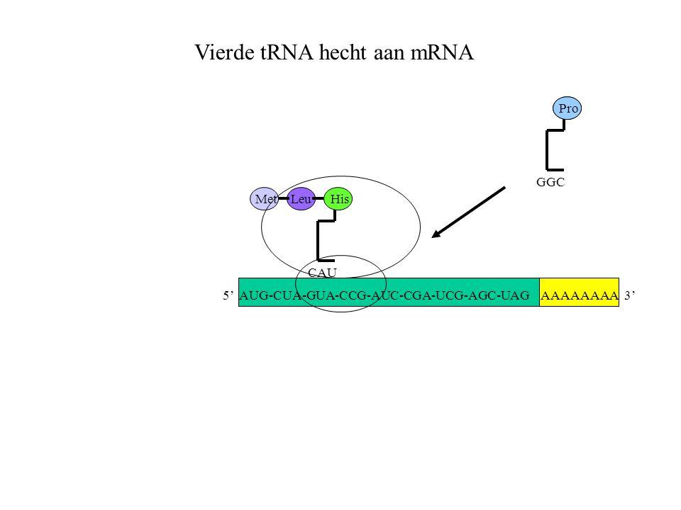 AAAAAAAA 3' MetLeu CAU His GGC Pro Vierde tRNA hecht aan mRNA 5' AUG-CUA-GUA-CCG-AUC-CGA-UCG-AGC-UAG