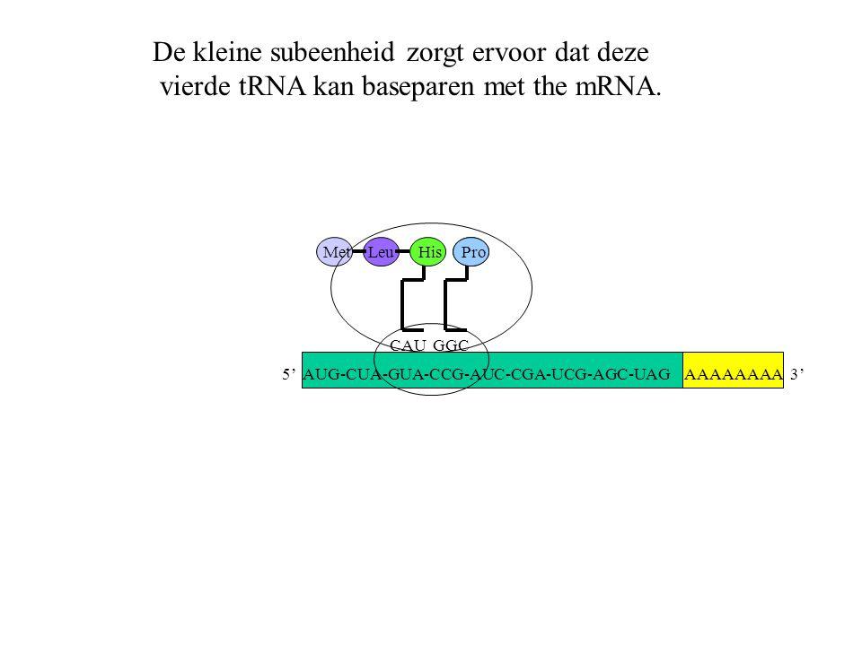 AAAAAAAA 3' MetLeu CAU His GGC Pro De kleine subeenheid zorgt ervoor dat deze vierde tRNA kan baseparen met the mRNA. 5' AUG-CUA-GUA-CCG-AUC-CGA-UCG-A