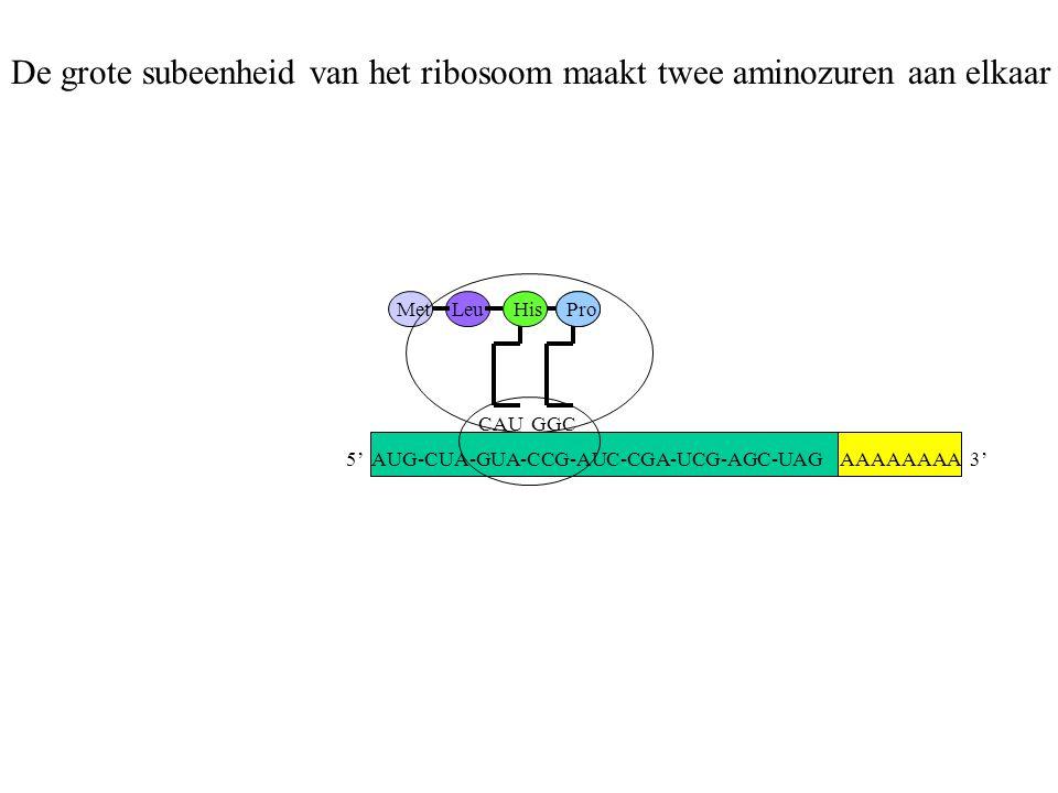 AAAAAAAA 3' MetLeu CAU His GGC Pro De grote subeenheid van het ribosoom maakt twee aminozuren aan elkaar 5' AUG-CUA-GUA-CCG-AUC-CGA-UCG-AGC-UAG