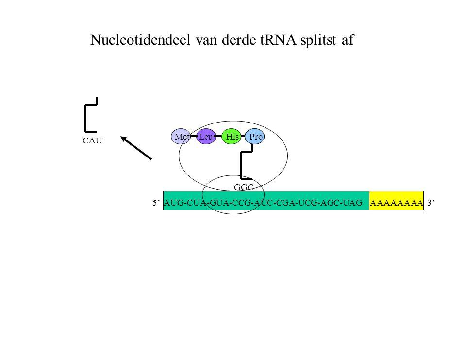 AAAAAAAA 3' MetLeuHis GGC Pro CAU Nucleotidendeel van derde tRNA splitst af 5' AUG-CUA-GUA-CCG-AUC-CGA-UCG-AGC-UAG